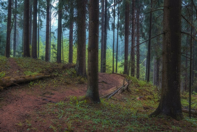 Early spring  morning in a old spruce misty forest. the path goes into the fog between tall trees.