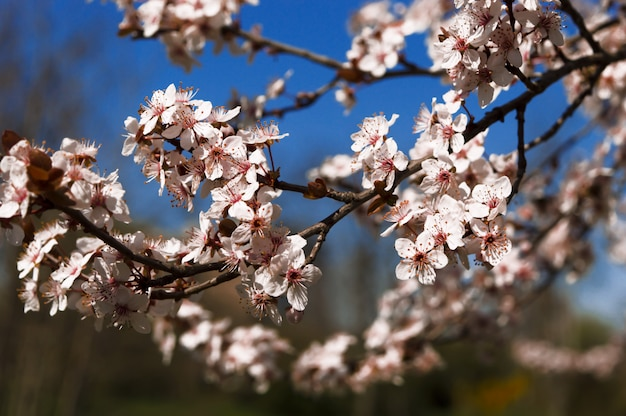 Early spring and peach tree flowers on blurred blue background.