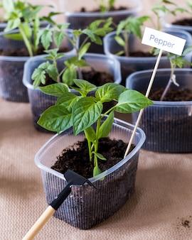 초봄 심기 고추 모종은 플라스틱 용기에서 자랍니다.