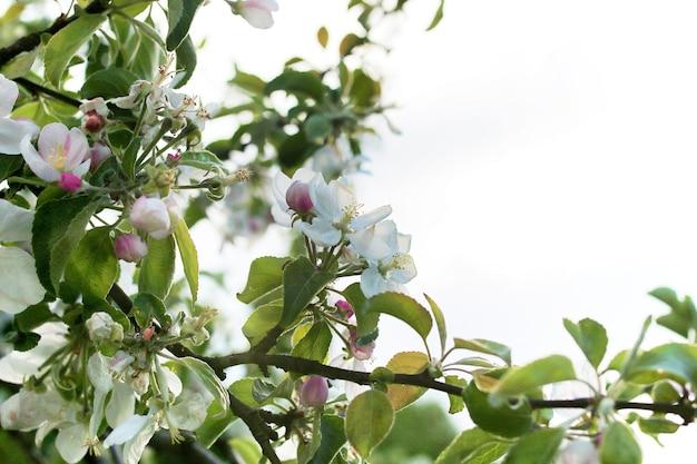 Ранней весной цветущая яблоня с яркими белыми цветами