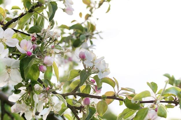 밝은 흰색 꽃과 함께 이른 봄 꽃이 만발한 사과 나무