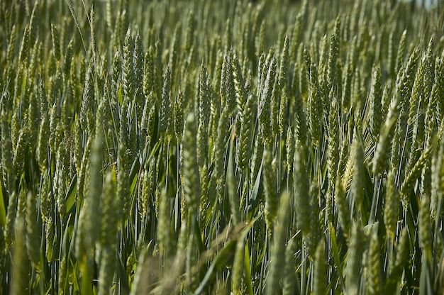 Ears of barley in a field of cultivation, agriculture in italy. texture of barley