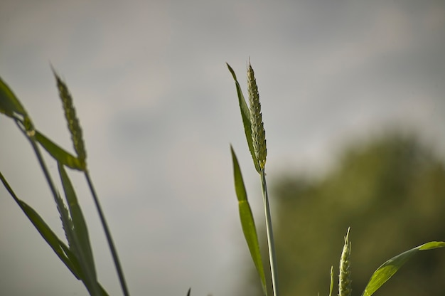 Ears of barley in a field of cultivation, agriculture in italy.