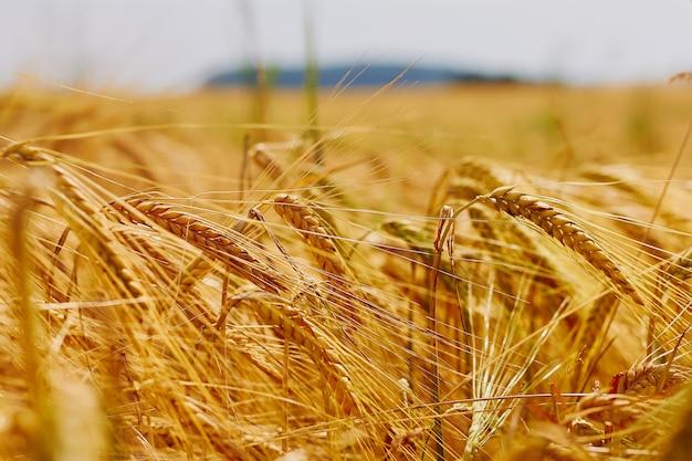 Ears in golden wheat field