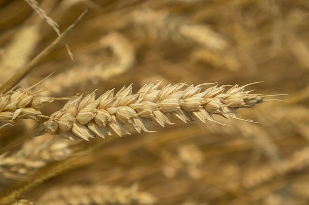 Ears and grain of wheat in a field of cultivation, agriculture in italy.