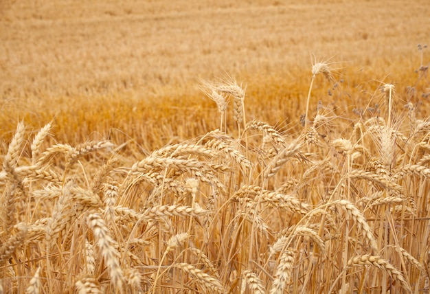 Ears of grain