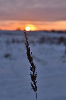 冬の野原を背景にした草の穂