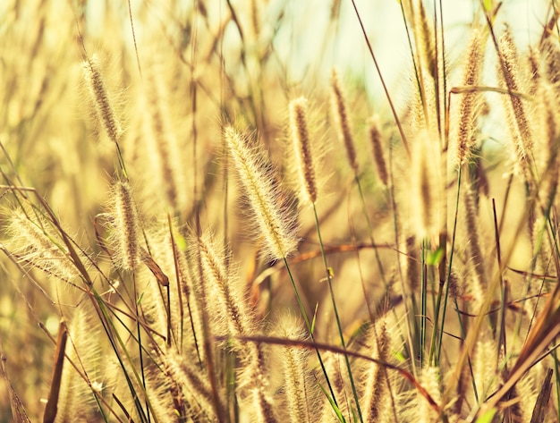 Уши травы в летнем солнечном свете.