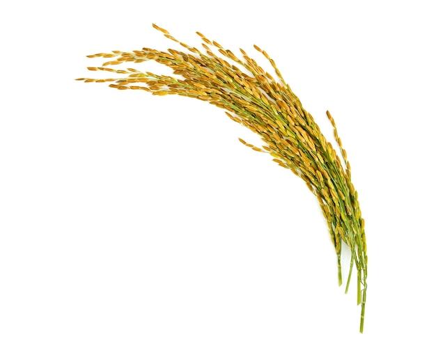 흰색 절연 쌀의 귀
