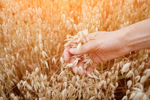 女性の手で熟したオート麦の耳