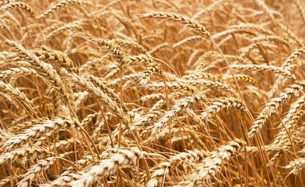 麦畑で育つ熟した小麦の穂