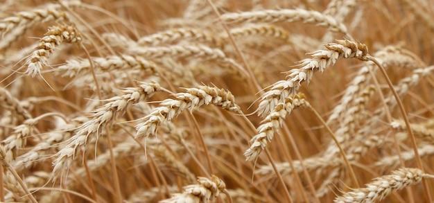 Колосья спелой пшеницы, растущей в пшеничном поле