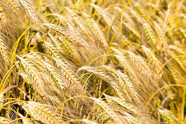 農地のライ麦の穂