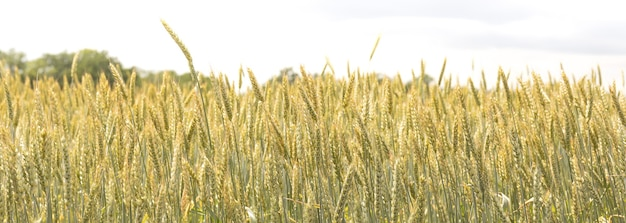 Колосья ржи или пшеницы на сельскохозяйственном поле, засеянном злаками