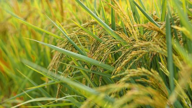 태국 쌀의 귀