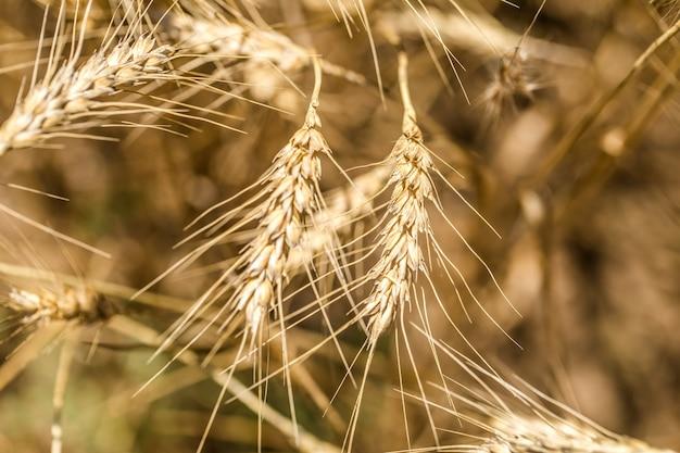Колосья пшеницы крупным планом на поле, концепция сельского хозяйства и природы