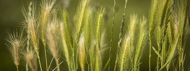 小麦の穂のマクロの詳細、コピースペースのあるバナー画像
