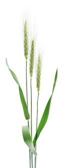 白い背景の上の小麦の穂