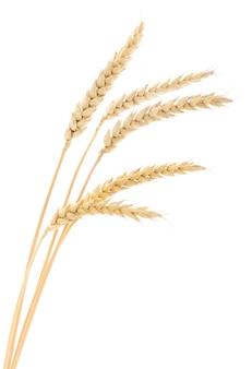 Колосья пшеницы на белом