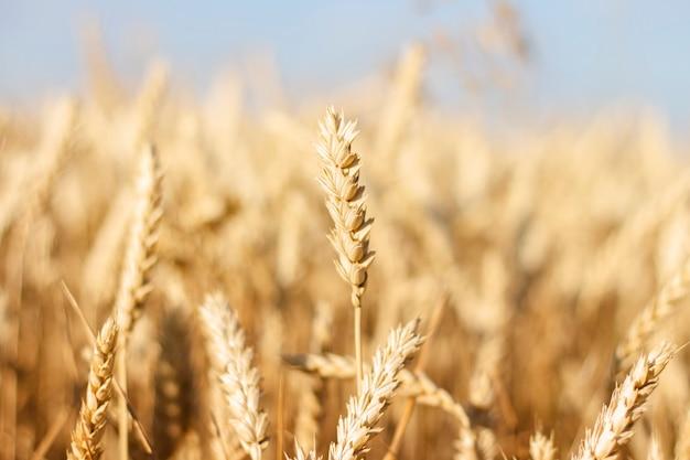 Колосья пшеницы или ячменя на поле. хорошая концепция урожая, крупы, натуральный продукт. узкий фокус