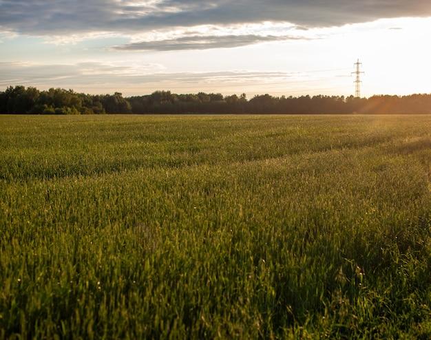 Колосья пшеницы или ржи, растущие в поле на закате. поле ржи во время сбора урожая на сельскохозяйственном поле.