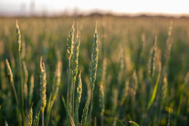 해질녘 들판에서 자라는 밀이나 호밀의 귀. 농업 분야에서 수확 기간 동안 호밀 필드입니다.