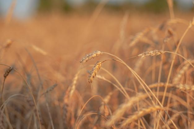 해질녘 들판에서 자라는 밀이나 호밀의 귀. 농업 분야에서 수확 기간 동안 호밀의 필드입니다. 밀 필드의 귀 숙성의 배경입니다. 풍부한 수확 개념입니다. 라벨 아트 디자인