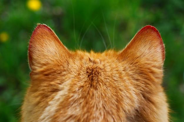 귀 빨간 고양이 가까이
