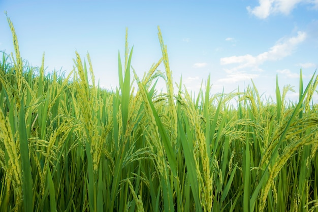 Ears of rice in field with the blue sky.