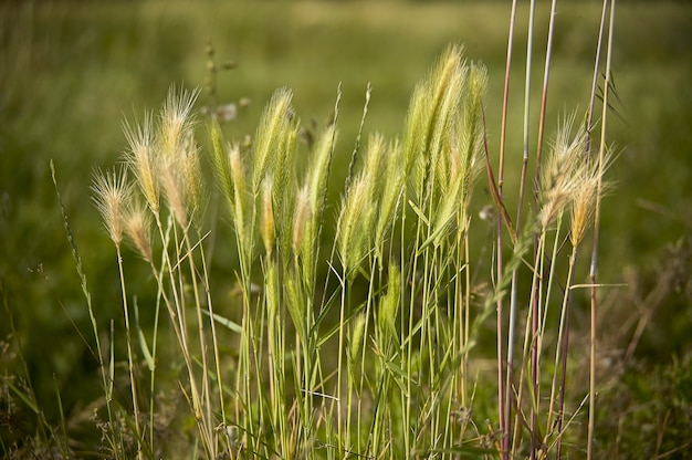 Ears of spontaneous grain near cultivation in a rural area. magnificent detail of this well-known plant or food.
