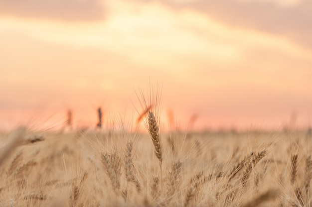 Ears of wheat against the pink sunset sky