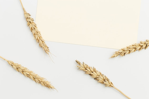 Ears of wheat close up on beige background. natural cereal plant, harvest time concept. flat lay