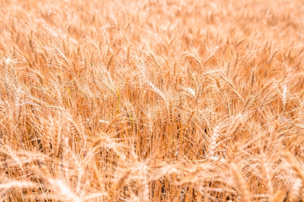 Ears of wheat in the field background