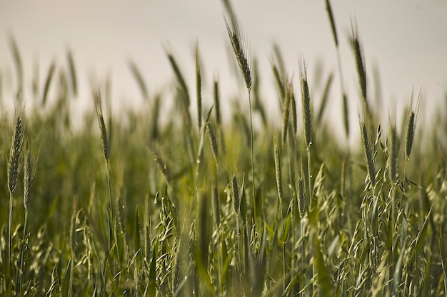 Ears of wheat in a field of cultivation, agriculture in italy.