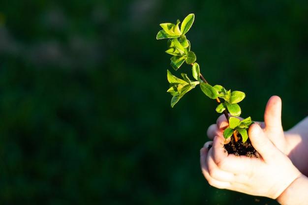 지구의 날. 잔디의 배경에 어린이 손에 나무의 묘목. 산림 보존 개념입니다. 세계 환경의 날