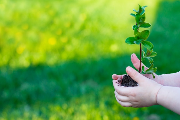 Earth day. sapling of a tree in a children's hands on a background of grass. forest conservation concept. world environment day