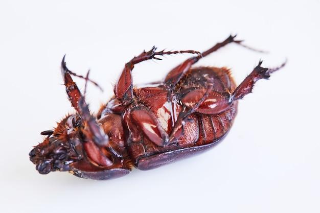 흙 배설물 딱정벌레는 흰색 배경 클로즈업에 등을 대고 누워 있습니다.
