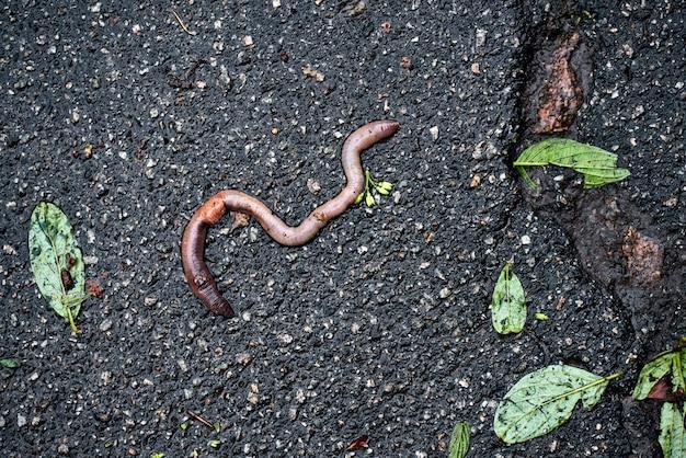 Дождевой червь пополз на асфальт после сильного дождя. листья деревьев лежат после трещин на асфальте