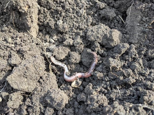 농장의 검은 토양에 지렁이.