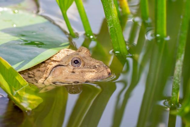 동아시아 황소 개구리