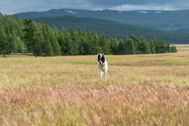East siberian laika runs along the flowering steppe in the altai mountains