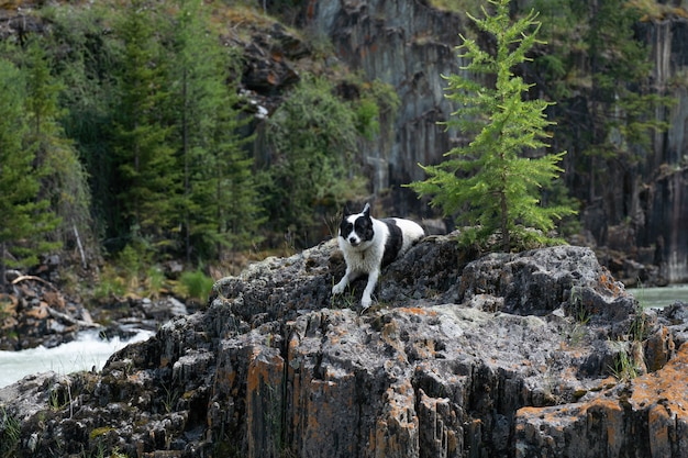 East siberian laika sits on a large stone by a mountain river