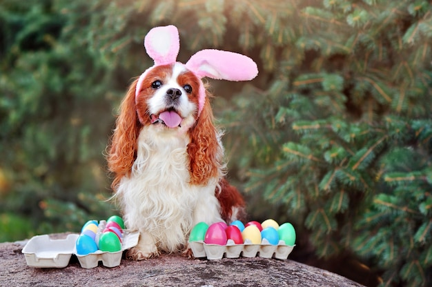 Easter bunny king charles spaniel
