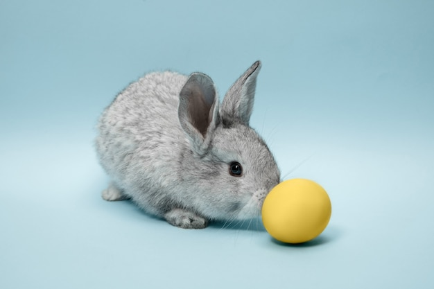 Easter bunny rabbit with blue painted egg on blue wall