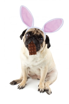 イースターのウサギ。口とウサギの耳にチョコレートを入れた悲しいパグ犬。