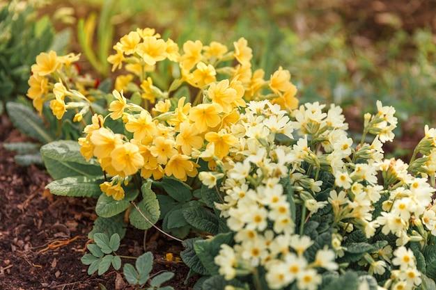 Концепция пасхи. примула примула с желтыми цветами на клумбе в весеннее время