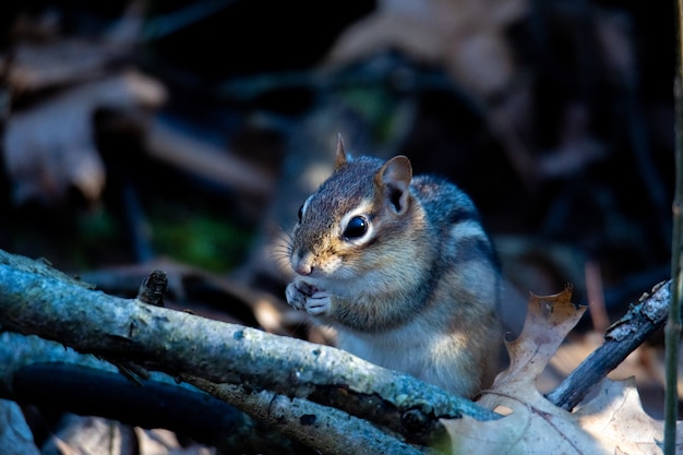 Eastern chipmunk on a branch