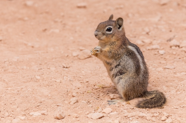 Eastern chipmunk standing on a red ground in bryce canyon national park, usa.