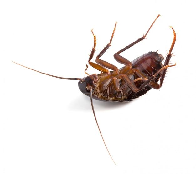 Восточный таракан на спине изолирован