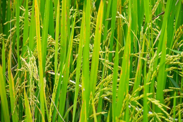 Eastern garter snake look at  insects in rice fields.